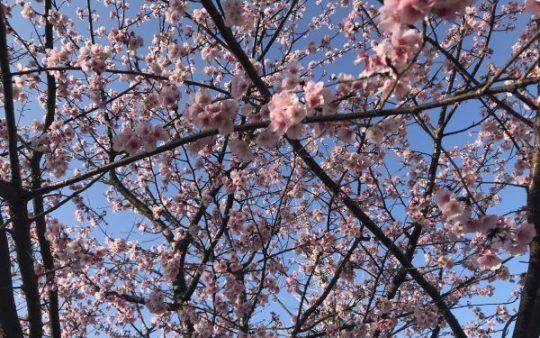 もうすぐ春本番!桜の開花の便り。